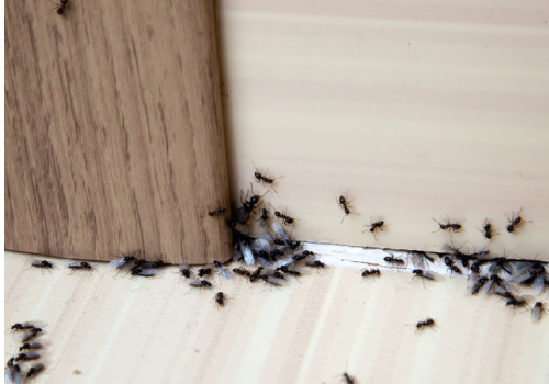 pest control services, getting rid of ants