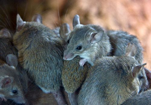 pest control services, getting rid of mice, mouse