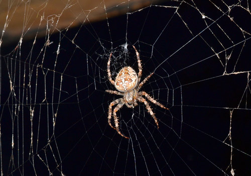 pest control services, getting rid of spiders, spider in the house